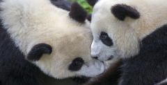 3 day private tour of Giant Panda with other top attractions in Chengdu
